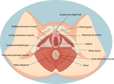 illustration médicale périnée